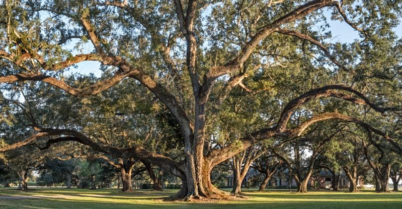bowie-oak-study-2