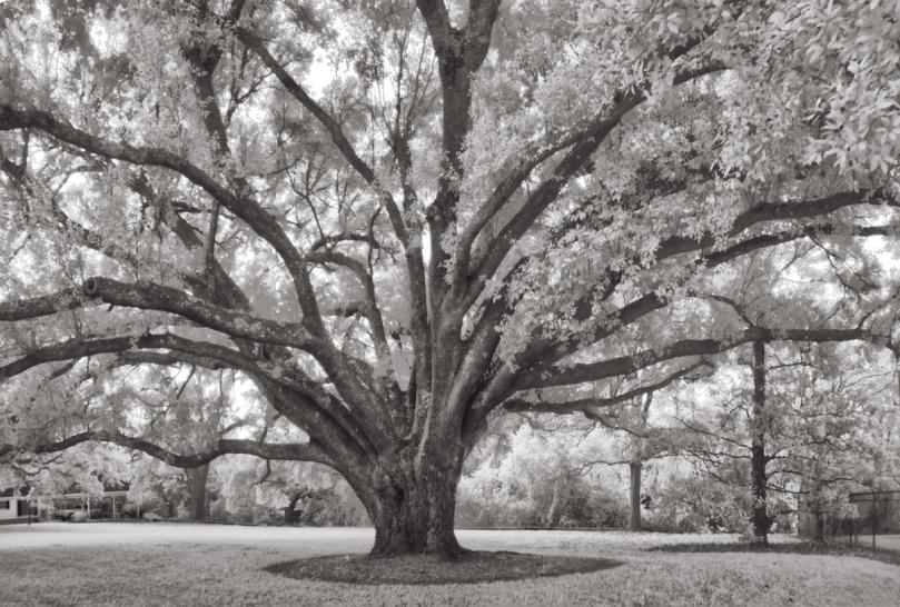 Gem Oak 2