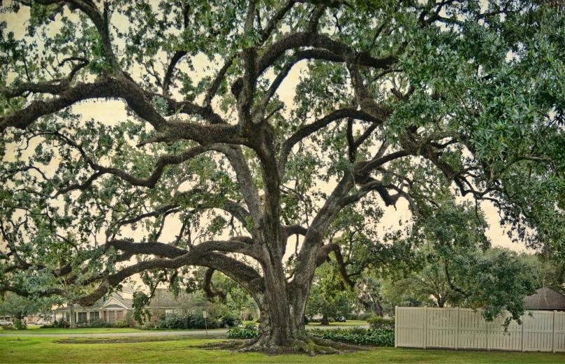 ridgefield-oak-3