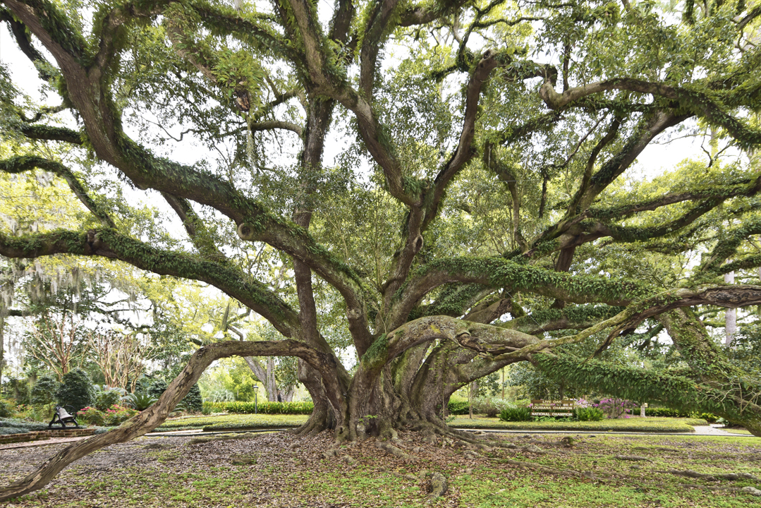 About The Live Oak Society The Bayou Lafourche Historic