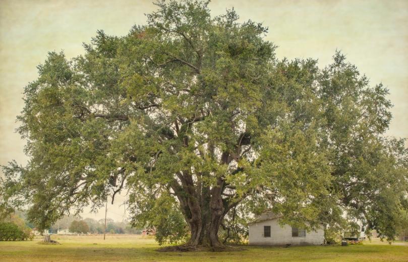 boudreaux-oak_5
