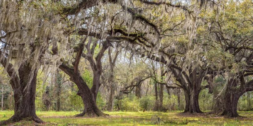 Four oaks in grove Waverly #11 copy