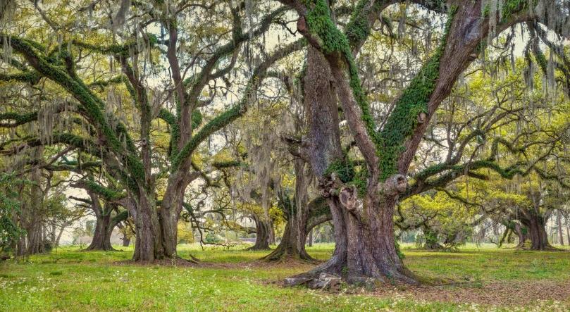 Oak grove #15