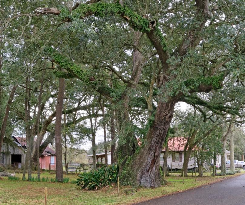 St. Roamin Oak #5