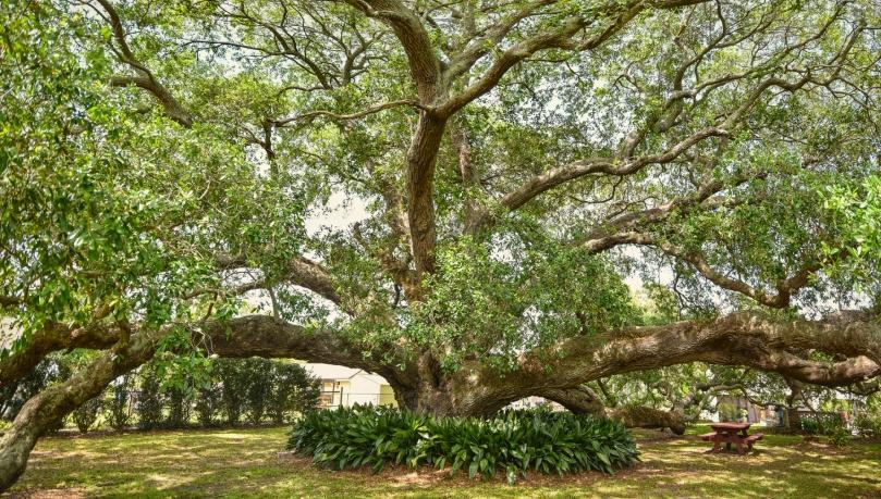 Bouverans Oak 1