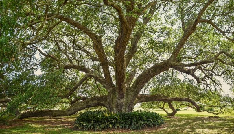 Bouverans Oak #4